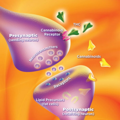 A Peek Into The Endocannabinoid System